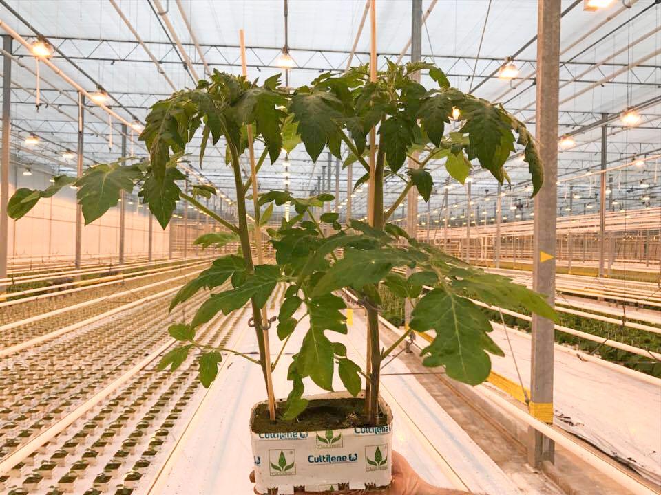 Rozsada nieszczepiona 42-dniowa, 2 rośliny w kostce